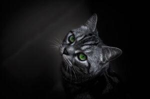 Gray Tabby Green Eyes