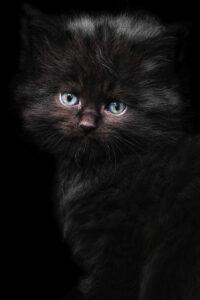 Kitten Black Cute